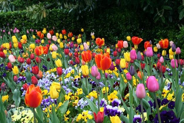 flores-tulipas-blog-carola-duarte