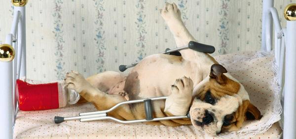 dor-ps-operatria-em-procedimentos-ortopdicos-em-ces-e-gatos